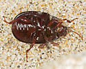 Introduced leaf beetle in San Francisco Bay region - Chrysolina bankii