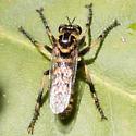 Callinicus pollenius ? - Callinicus pollenius