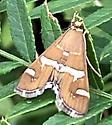 Hawaiian Beet Webworm - Spoladea recurvali? - Spoladea recurvalis