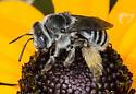 Possible Melissodes subillata - longhorned bee - Melissodes - female