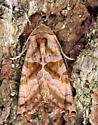 Brown Angle Shades - Phlogophora periculosa