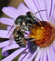 Another Bee on Aromatic Aster - Megachile brevis - female