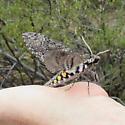 Five-spotted Sphinx Moth? - Manduca sexta
