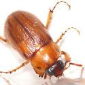 Scarab beetle 10.06.16 - Cyclocephala borealis