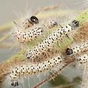 Elm caterpillars - Lophocampa caryae