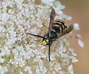 Common Aerial Yellowjacket (Dolichovespula arenaria)??? - Dolichovespula arenaria