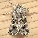 Noctuidae: Calophasia lunula - Calophasia lunula