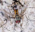 large fly - Zelia vertebrata - male
