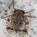 Issid Planthopper IMG_6449 - Neaethus maculatus