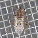 Rhopalini sp. - Liorhyssus hyalinus