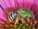 Bicolored Agapostemon - Agapostemon virescens - female