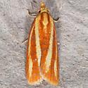 Sparganothis tristriata - Three-streaked Sparganothis - Sparganothis tristriata