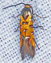 Moth, dorsal - Neoheliodines arizonense