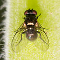 Unknown fly from Oakland, CA