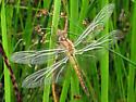 dragonfly - Pantala flavescens