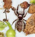 bioblitz jumping spider #3141 - Phanias albeolus - female