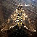 Carolina Sphinx - Hodges#7775 - Manduca sexta - male