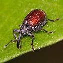 Weevil ID - Anthonomus signatus