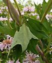 Tortricidae, cut and eaten leaf - Platynota flavedana