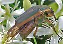 Cotinis nitida (Green June Beetle) - Cotinis nitida