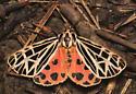 Arctiinae, Virgin Tiger Moth - Apantesis virgo