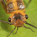 stonefly - Isoperla