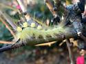 Orgyia caterpillar - Orgyia definita