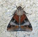Erebidae - Melipotis perpendicularis