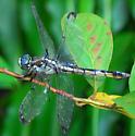 dragonfly - Libellula vibrans