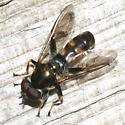 syrphid - male