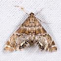 Petrophila - Petrophila confusalis