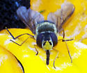 unkown hover fly