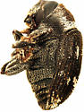 Hylesinus fasciatus