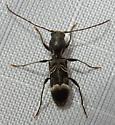 Tilloclytus geminatus