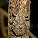 Four-humped Stink Bug - Brochymena quadripustulata
