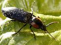 Click Beetle - Selatosomus edwardsi