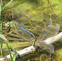 Green and blue dragonfly - Anax junius