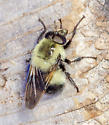 Drone fly? - Volucella bombylans-complex