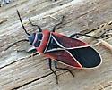 Neacoryphus bicrucis - Whitecrossed Seed Bug? - Neacoryphus bicrucis