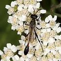 Thread-waisted Wasp ? - Ammophila