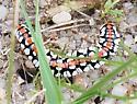Caterpillar (?) in ColoradoColorado Springs - Cucullia dorsalis