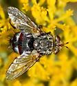 chestnut and black fly - Peleteria