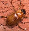 Cyclocephala sp.? - Cyclocephala