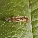 Bark louse - Graphopsocus cruciatus