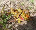 Ovipositing/mate guarding - Romalea microptera - male - female