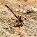 Common sanddragon dragonfly - Progomphus obscurus