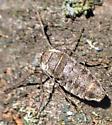 Unknown Insect - Alsophila pometaria? - Alsophila