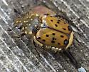 beetle - Gnorimella maculosa