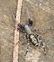 Castianeira - Castianeira longipalpa - male