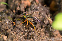 Asilid - Taracticus octopunctatus - female